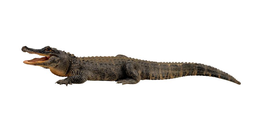 鳄鱼是一种卵生动物,幼鳄鱼从蛋里孵化出来的性别并不取决于父母,而是